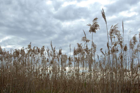Tall wild dry grass on a cloudy and stormy background