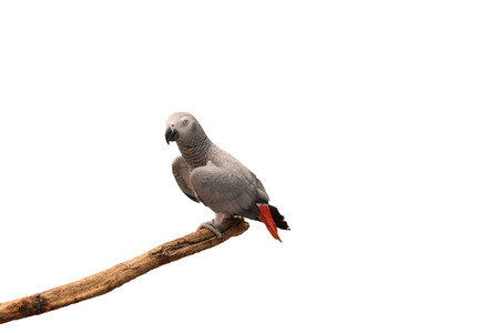 erithacus: African grey parrot  Psittacus erithacus perched on a branch isolated on white background.