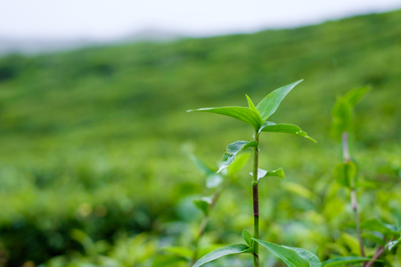 unwanted flora: Close up of unwanted flora in tea plantations at Cameron Highlands, Malaysia.