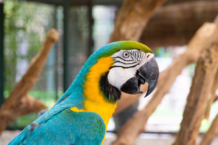 ararauna: Close up of Blue-and-yellow macaw (Ara ararauna) also known as the Blue-and-gold macaw. Stock Photo