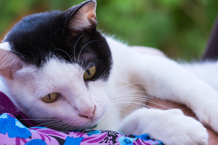 Black and white Thai cat with yellow eye lying relaxed posture. Stock Photo