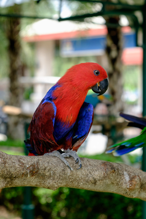 Side view of red Eclectus parrot perched on branch. Stock Photo