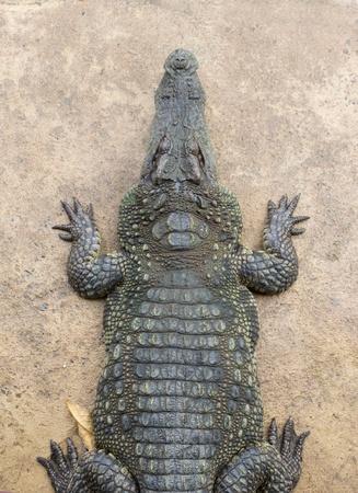 Top view Crocodile