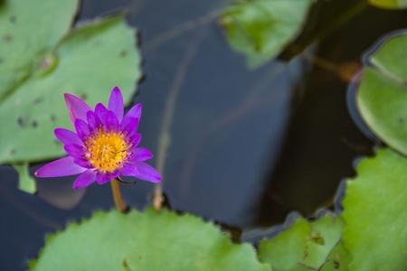 Top view lotus blooming in pond