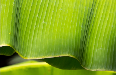 Green Banana leaf in nature photo