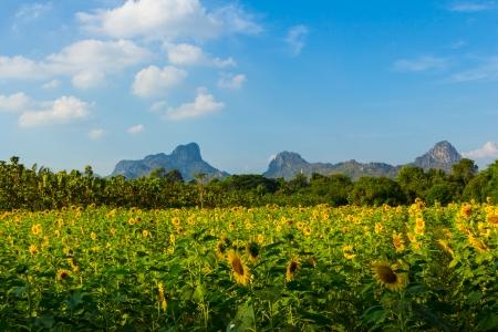 Landscape sunflower field and mountain in summer, Thailand  photo