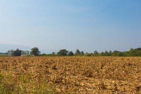 Wide view corn field affected by drought