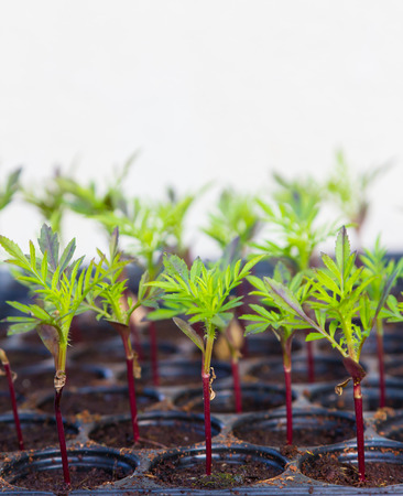 Small plants in plastic tray closeup