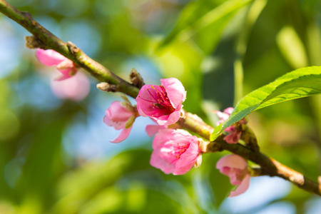 Cherry blossom blooming on branch closeup