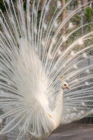 flaunt: White peacock with feathers out vertical