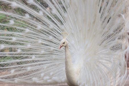 exotism: White peacock with feathers show side view