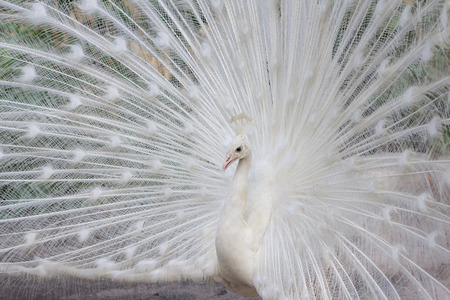 flaunt: White peacock with feathers side view
