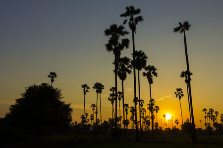 Silhouette sugar palm tree in sunset
