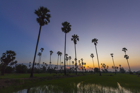 Sugar palm tree landscape in twilight