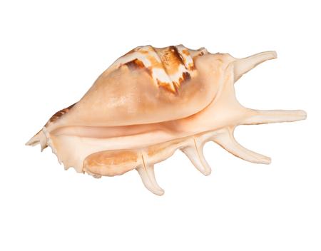 seashell on white background studio macro shot Stock Photo