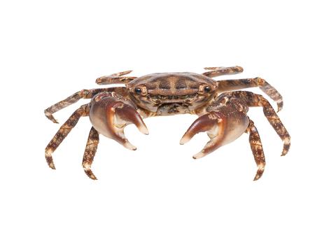 Small brown crab isolated on white,studio shot. Reklamní fotografie
