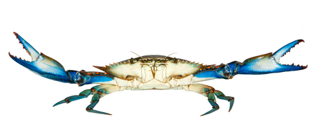 Blue Crab with white background,attack Reklamní fotografie