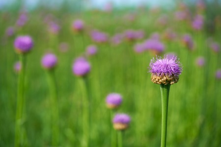 Purple flowers of cornflowers ,  green blurred spring background, selective focus.