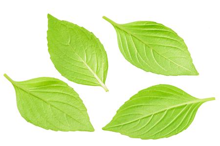 Close-up studio shot of fresh green basil  leaves isolated on white background Stock Photo