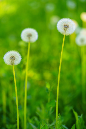 Three dandelions, natural green blurred background.Vertical position