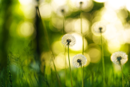 Dandelions, natural green blurred spring background, selective focus.
