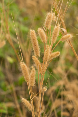 feather pennisetum,mission grass photo