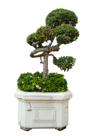 Ornamental Small green decorative tree photo