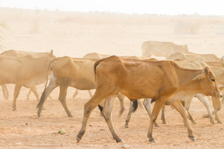 herdsman: Herdsman Shepherd Cattle at Roadside in MuiNe Vietnam