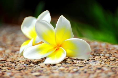 Frangipani on the cement floor marble  photo