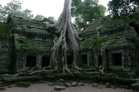 Ruins overgrown by huge tree, Ta Prohm temple. Angkor, Siem Reap. Cambodia