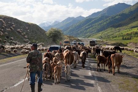 GEORGIAN MILITARY HIGHWAY – MAY 26. Traffic blocked by herd crossing Georgian military Highway.May 26, 2010 on Georgian military Highway near Pasanauri. Georgia.