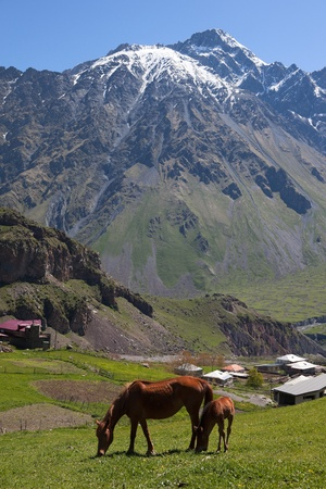 Horses in Caucasus Mountains. Stepantsminda (formerly Kazbegi) village. Georgia. photo