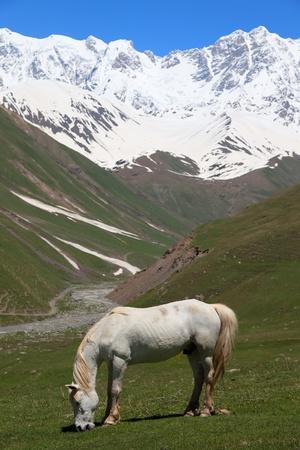 ushguli: White Horse at alpine meadows at the foot of Mt. Shkhara. Ushguli Village. Upper Svaneti. Georgia.