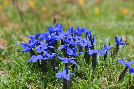 mestia: Wild flowers on alpine meadows near Mestia village. Upper Svaneti. Georgia.