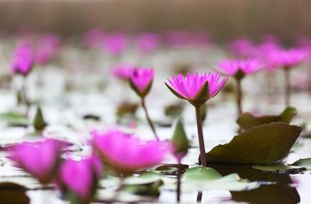 Pink lotuses blooming in marshland. Mai Po. Hong Kong.