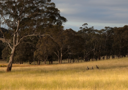 Kangaroo hiding in toll grass  Country New South Wales  Australia  photo