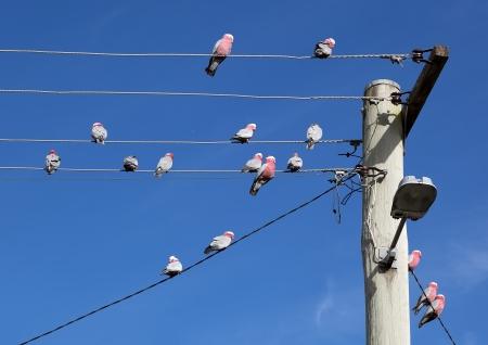 cockatoos: Galah Cacatua roseicapilla Cacatua Oberon NSW Australia