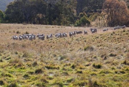 Sheep grazing  Tablelands near Oberon  New South Wales  Australia  Stock Photo - 13752249
