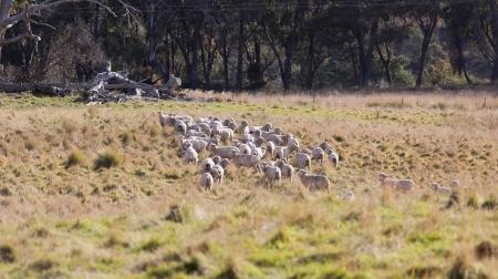 Sheep grazing  Tablelands near Oberon  New South Wales  Australia  photo
