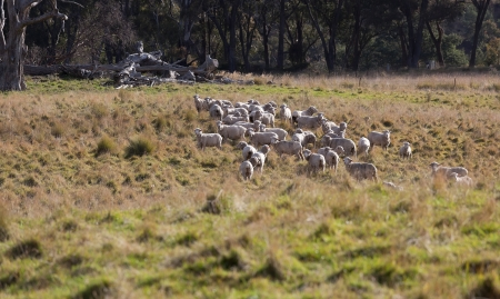 Sheep grazing  Tablelands near Oberon  New South Wales  Australia  photo