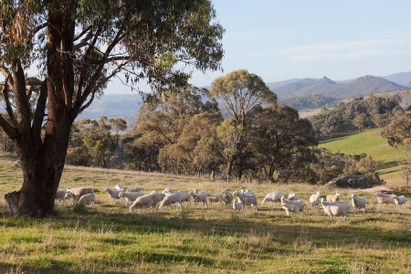 Sheep grazing  Tablelands near Oberon  New South Wales  Australia  Stock Photo