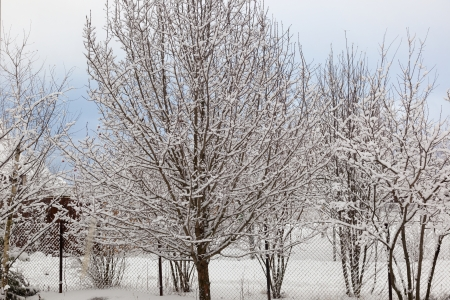 Apple orchard in winter  Moscow region  Russia photo