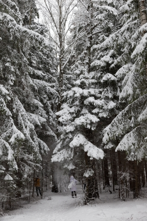 Pinewood forest after heavy snowfall  Moscow region  Russia  photo