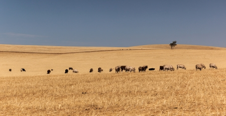 Cattle grazing on dry yellow meadow   South Australia   photo