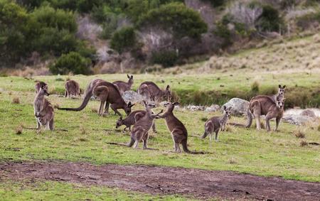 Kangaroos at sunset  Eurobodalla national park  NSW  Australia