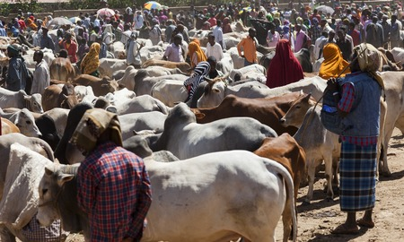 BABILE  ETHIOPIA - DECEMBER 23, 2013  Brahman bull, Zebu and other cattle for sale at one of the largest livestock market in the horn of Africa countries