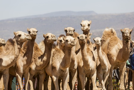 Camels for sale at livestock market  Babile  Ethiopea