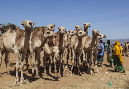 BABILE  ETHIOPEA - DECEMBER 23, 2013  Camels for sale at one of the largest livestock market in the horn of Africa countries