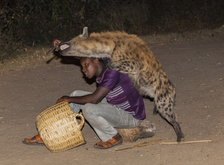 HARAR, ETHIOPIA - DECEMBER 23, 2013  An unidentified man feeds a spotted hyena  crocuta crocuta  in ancient city of Jugol  Tradition that started some year ago still maintained today  Editorial