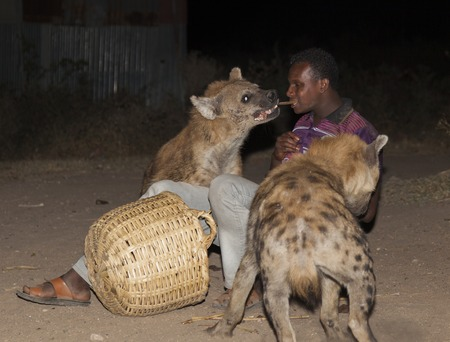 HARAR, ETHIOPIA - DECEMBER 23, 2013  An unidentified man feeds spotted hyenas  crocuta crocuta  in ancient city of Jugol  Tradition that started some year ago still maintained today